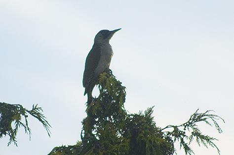 28june-woodpecker