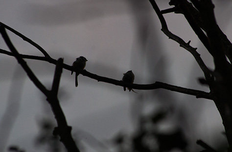 long-tailed-tit1