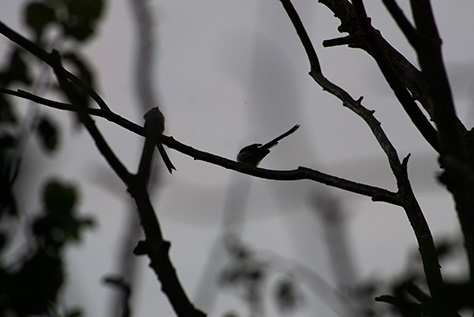 long-tailed-tit2