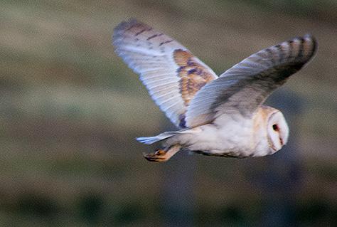 barn-owl3