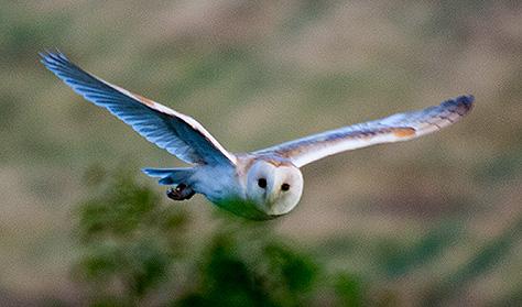 barn-owl4