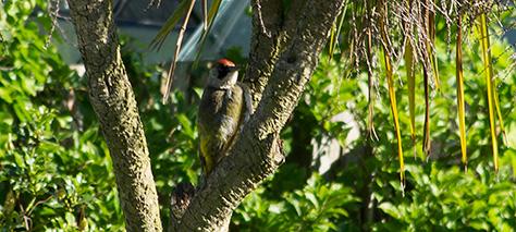 green-woodpecker-10-july