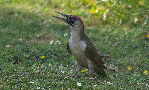 green-woodpecker01