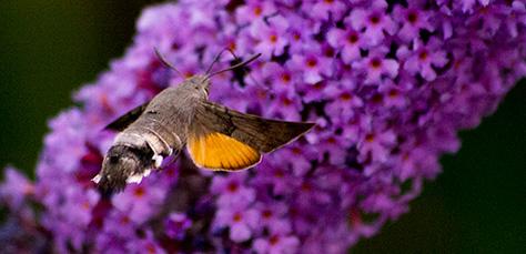 hummingbirdhawk1