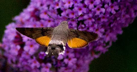 hummingbirdhawk2