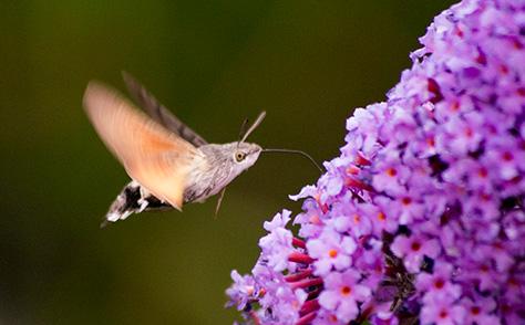 hummingbirdhawk3