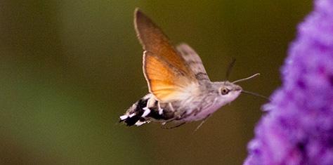 hummingbirdhawk4