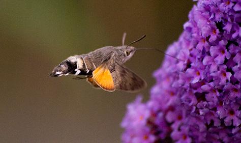 hummingbirdhawk5