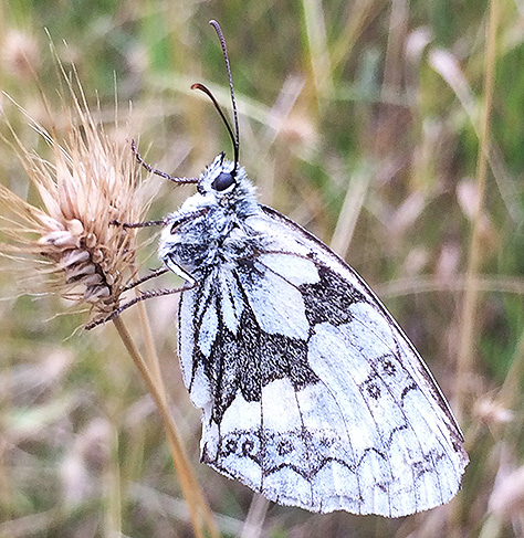 marbled-white1