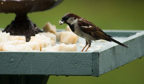 sparrow1-2607