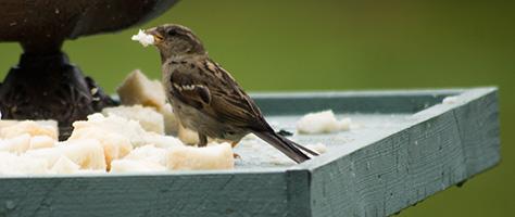 sparrow2-2607