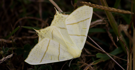swallowtailed-moth