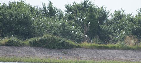 egret-roost