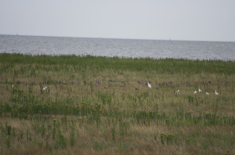egrets-and-curlew