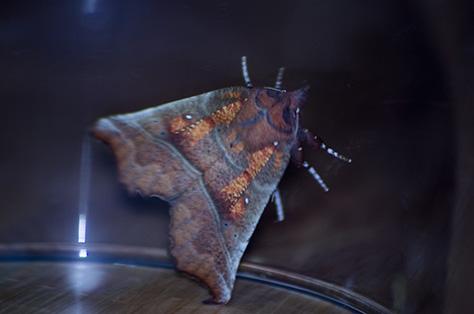 herald-moth