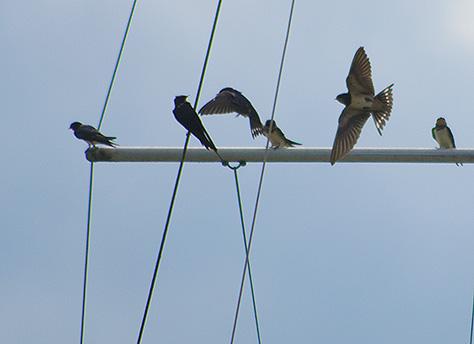 swallows1