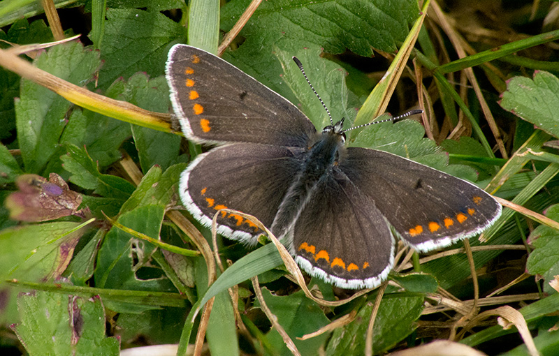stacked-brown-argus